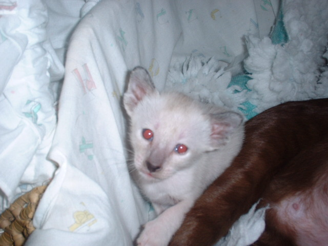 Siamese baby